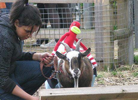 Cambridge goat
