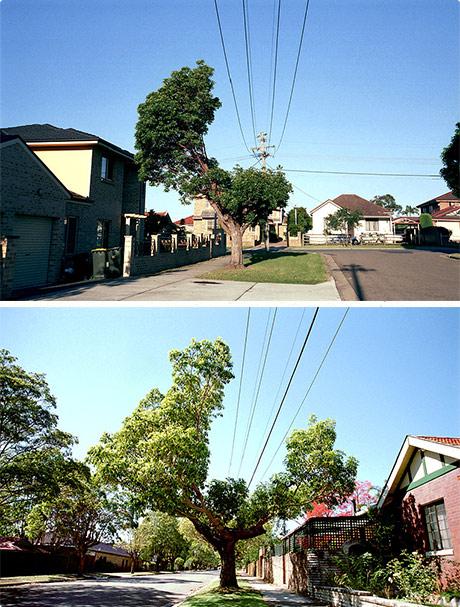 Giant Bonsai Trees