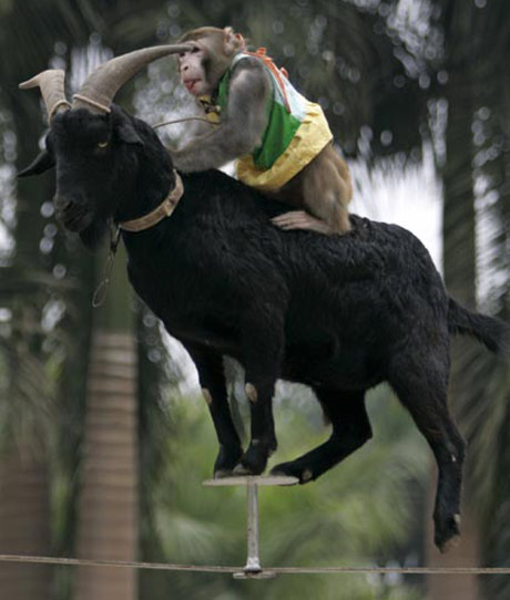 Goat carrying monkey walking tightrope wire