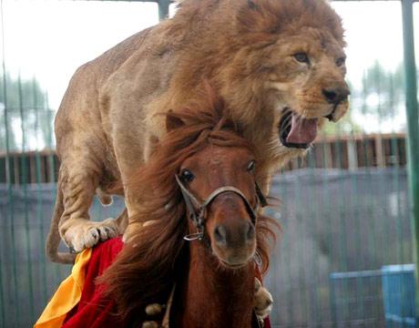 lion riding a horse