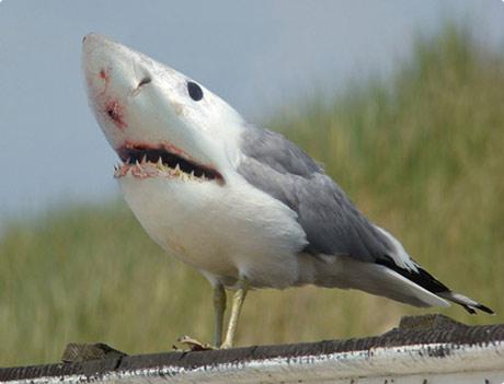 Shark-Gul