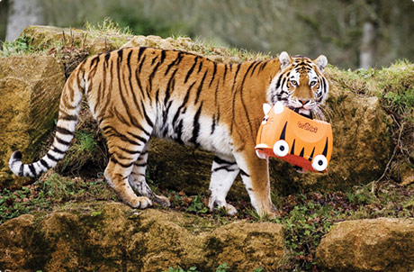 Tiger carrying Trunki in it's mouth