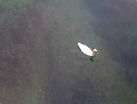 Zurich canal with a swan