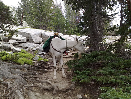 Goat carring a load for hikers