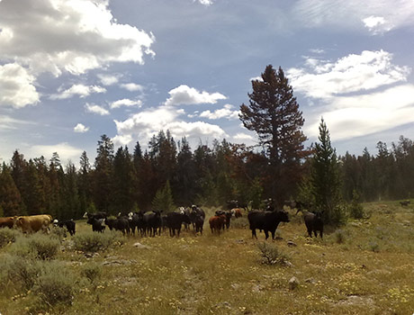 inquisitive cows